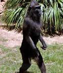 Monkey walking upright