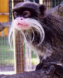 Emperor Tamarin. Photo from Como Zoo.