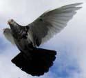 It's a pigeon.
