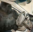 Koko wants to drive.