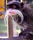 Emperor Tamarin. Photo from Como Zoo.