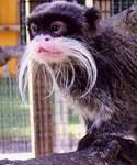 Tamarin from the Como Zoo